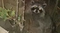 Every night this little sneaky raccoon comes up from its hiding place to eat the seeds that the birds have dropped from the feeders.  I think it is a female […]