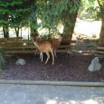 So the deer here on Gabriola are a bit like rats, they are everywhere and they have no natural predator on the island. I can't deny that they are pretty […]